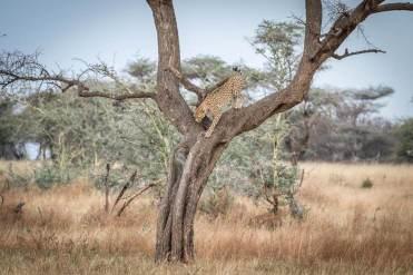 Gepard auf einem Baum in der Serengeti