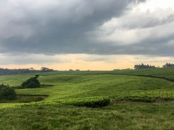 Uganda: Teefelder in den Bergen