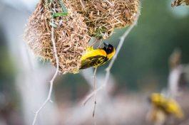 Webervogelnest am Lake Baringo