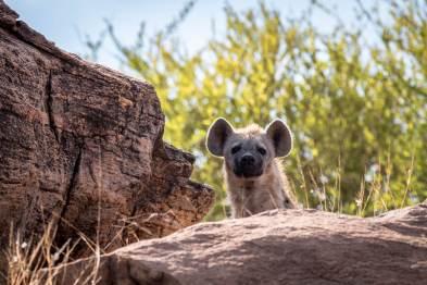 Neugierige Tüpfelhyäne im Tsavo West