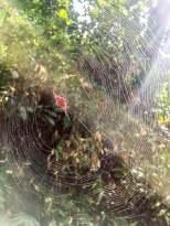 Buffalo spider in den Udzungwa Bergen Tansanias