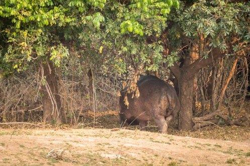 Nilpferd im Wald im South Luangwa Nationalpark