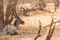Wasserbock im South Luangwa Nationalpark