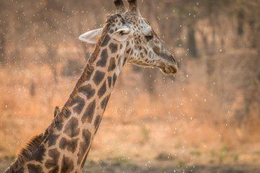 Trinkende Giraffe im South Luangwa Nationalpark