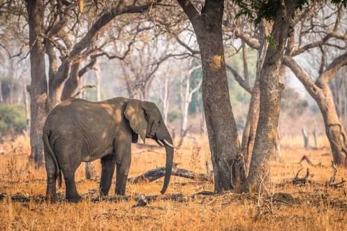 Elefant in der Abendsonne im South Luangwa Nationalpark