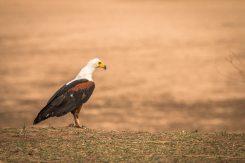 Schreiseeadler (African fish eagle) im South Luangwa Nationalpark