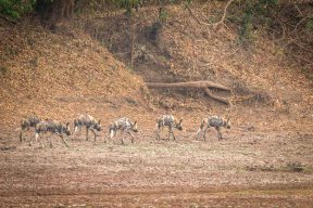 Wild Dog Rudel im South Luangwa Nationalpark