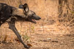 Wild Dog auf der Jagd im South Luangwa Nationalpark