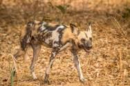 Wild Dog im South Luangwa Nationalpark