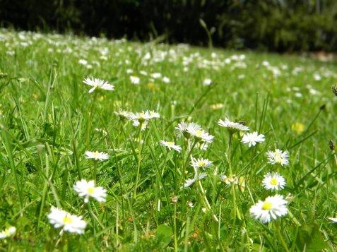dandelions-nz