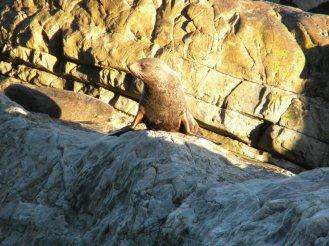 seal-new-zealand