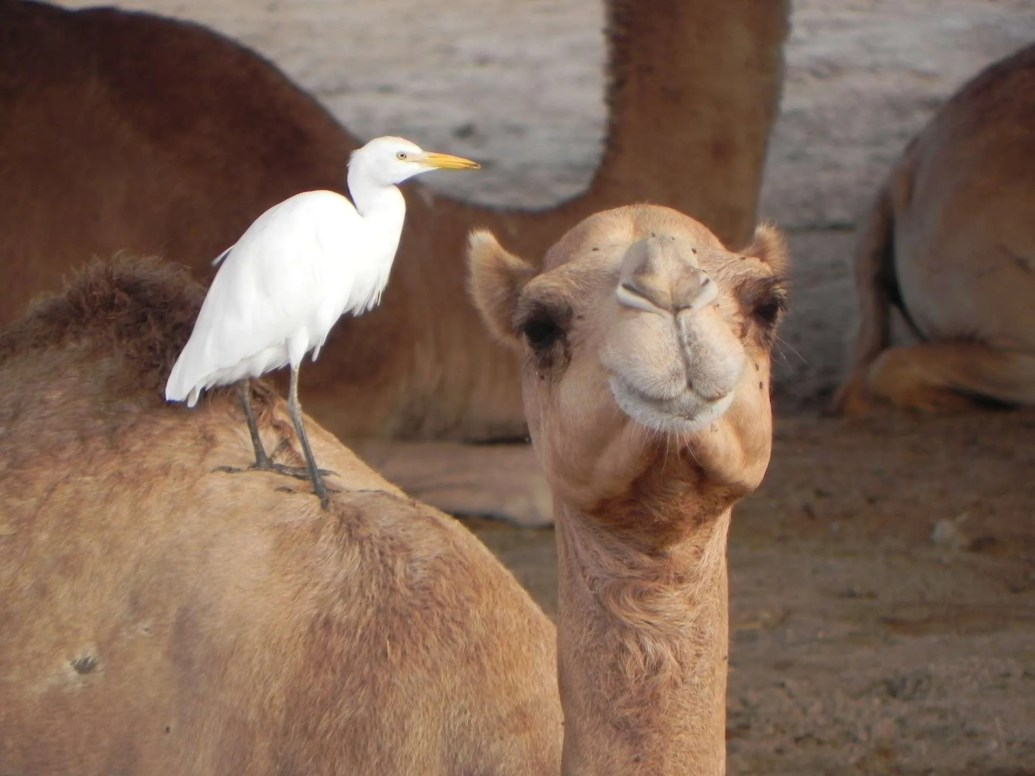 camel-and-bird