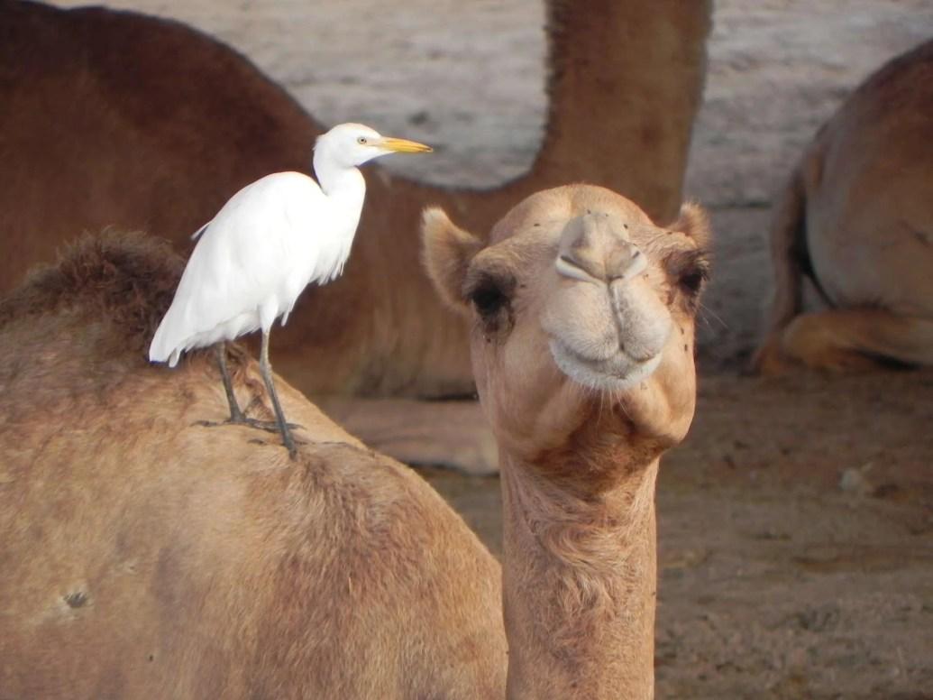 camel-and-bird