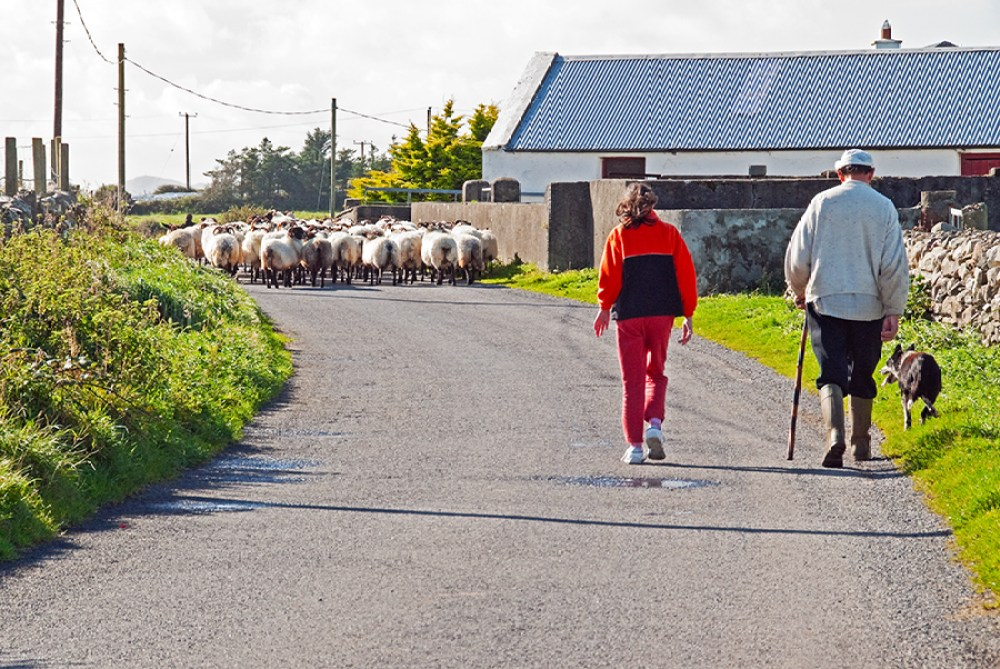 Man and his daughter herding sheep in County Mayo, Ireland