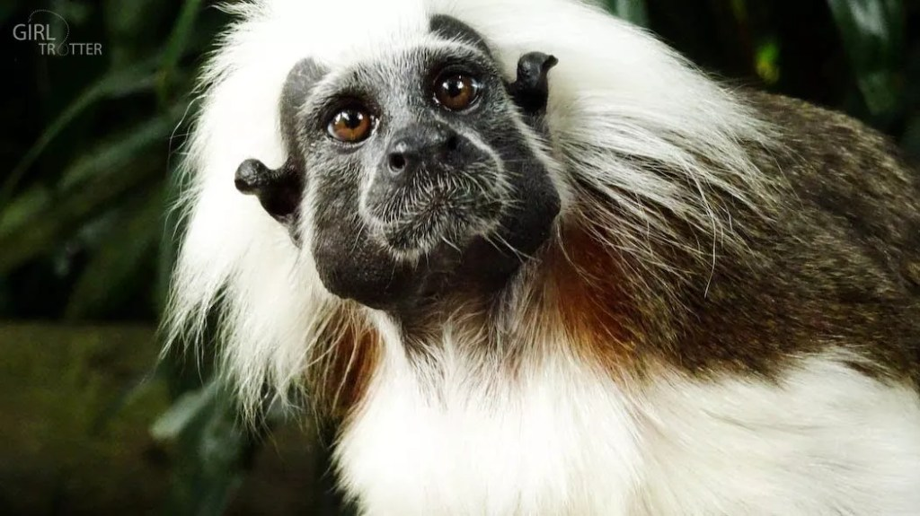 Singe Pinche à crete blanche au zoo de Singapour - Girltrotter