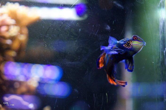 Poisson Mandarin au Grand aquarium de Nausicaa à Boulogne-sur-Mer