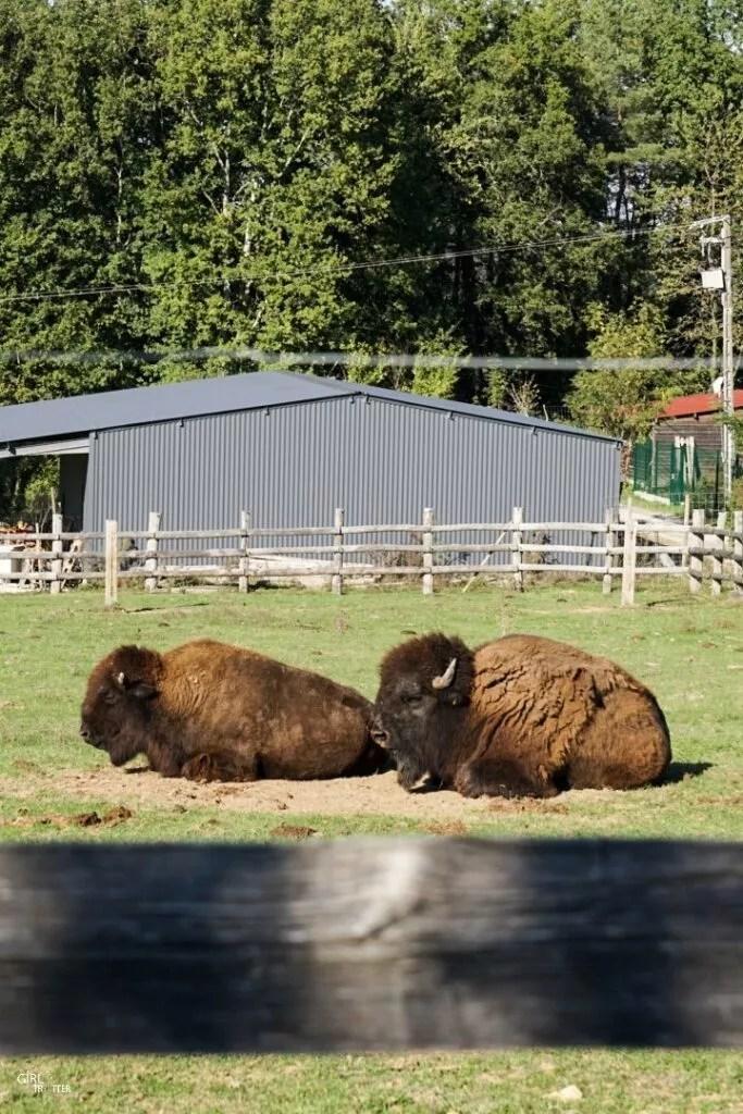 Bisons au Parc animalier du Thot
