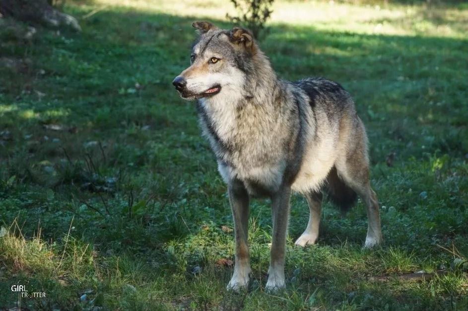 Loup au Parc animalier du Thot