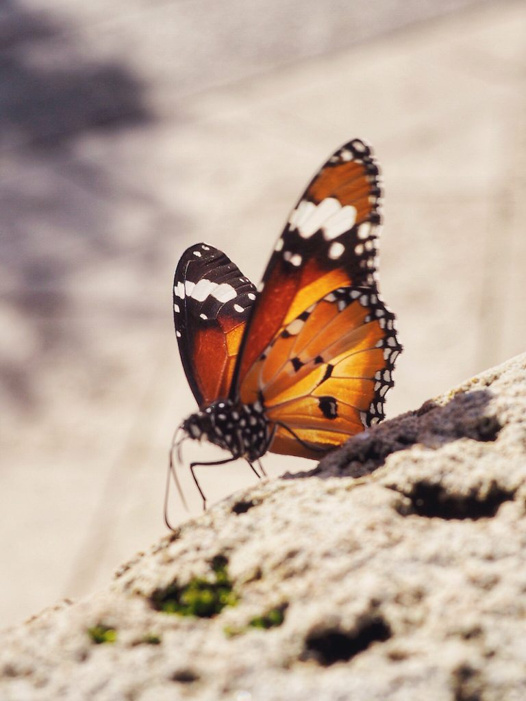 Butterfly on Rottnest Island