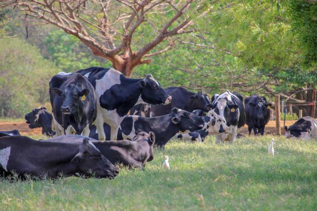 melhor-raca-de-touro-cruzar-com-vaca-holandesa-criar-gado-bruto-rustico-e-sistematico