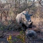 Riserva Mthethomusha - rinoceronte