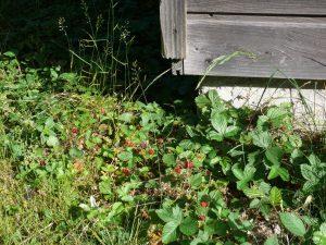fraisiers des bois gîte colombière morvan