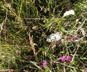 flore papillon morvan