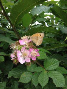 papillon murier