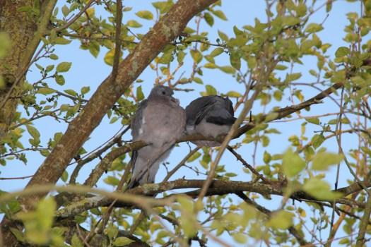 Pigeons-(2)