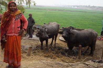 Die Wasserbüffel zur Milchversorgung