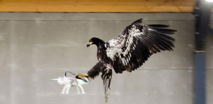 Águila-vs-quadcopter-740x362