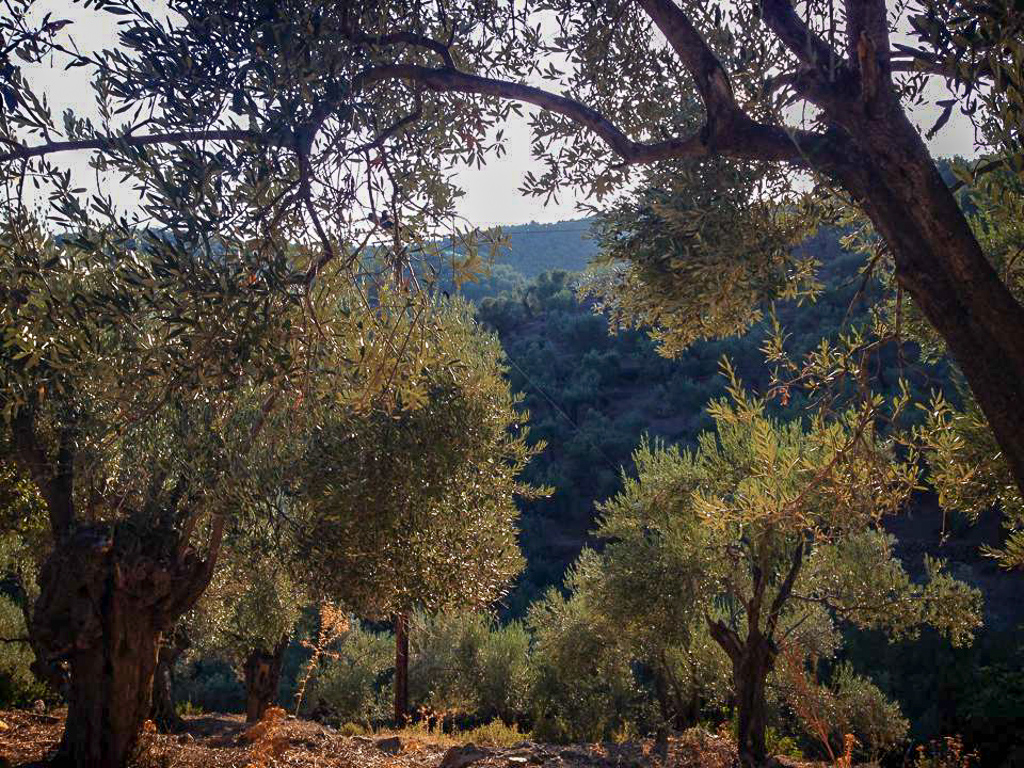 Sun through the olive trees on our WWOOF farm in Lesvos