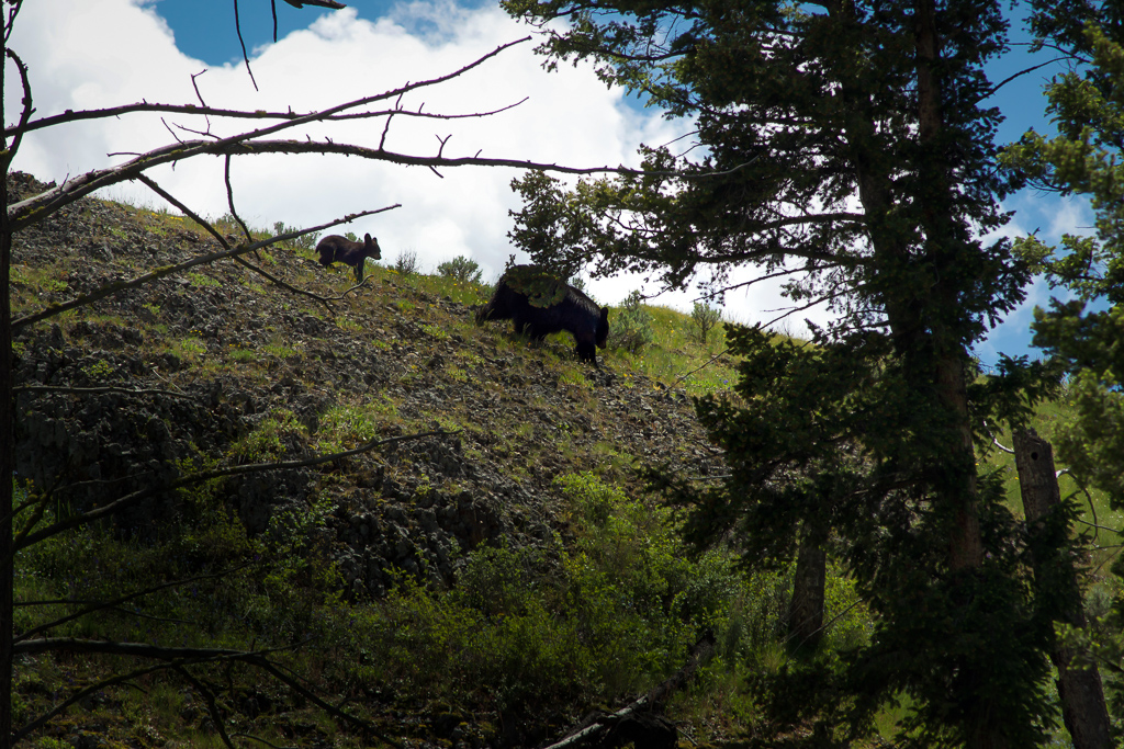 Black bear and cub at Yellowstone