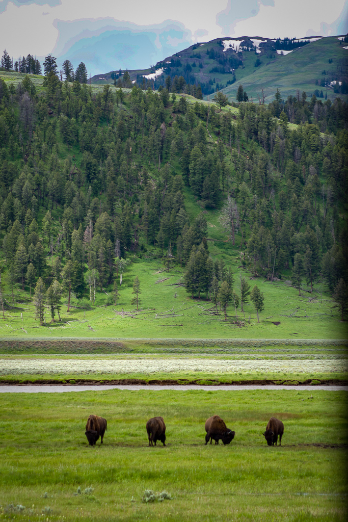 Bison in Lamar Valley, Yellowstone National Park