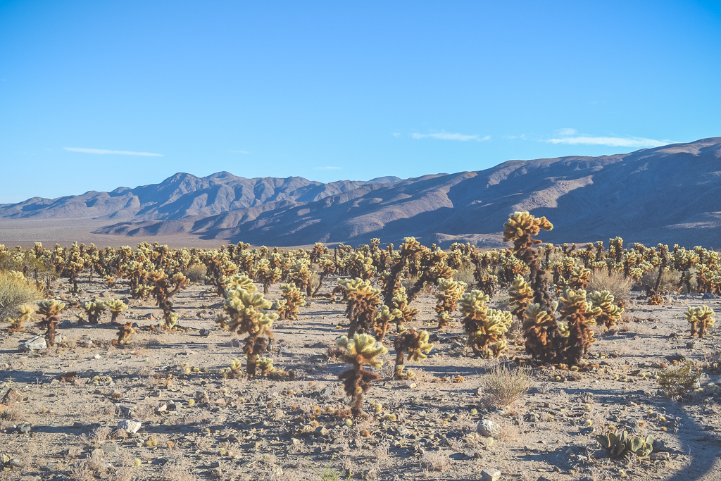 Cactus field in Joshua Tree National Park
