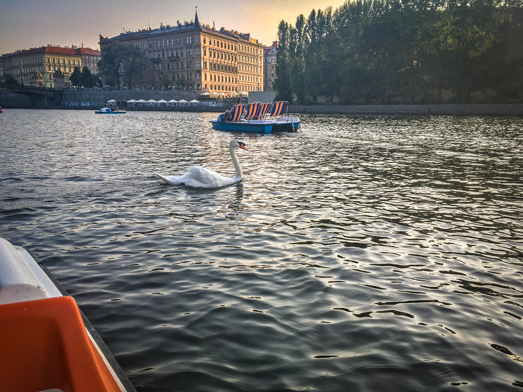 Swan up close and personal on the Vltava River