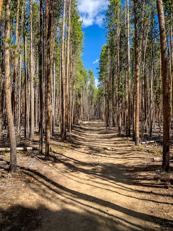Creaky pine trees lining the path of Tonahutu Trail on the Continental Divide Loop of Rocky Mountain National park