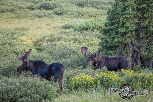 Moose across from Sugarloaf CG. Sugarloaf Rec. Area, WY.