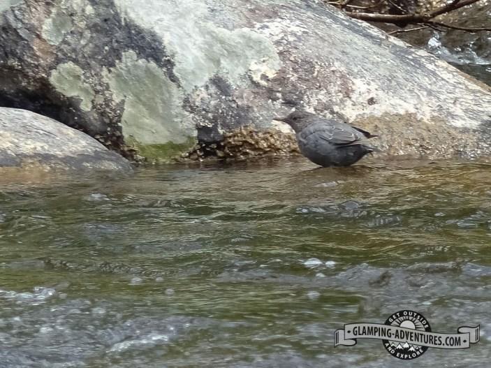 Dipper looking for aquatic bugs.