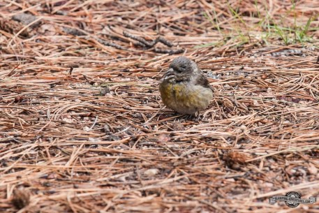 Red Crossbill.