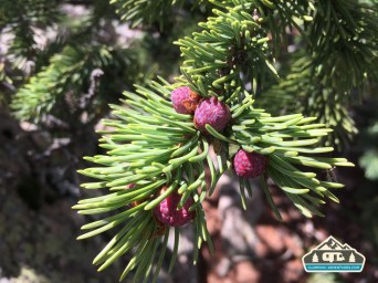 Spruce tree with red buds. CO Trail. Kenosha Pass, CO.