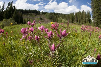 Alpine Paintbrush. Arch Slough, Grand Mesa CO.