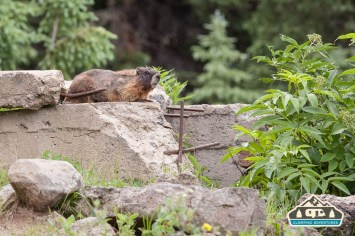 A couple of Marmots guard the entry way to the trail. Arch Slough, Grand Mesa CO.