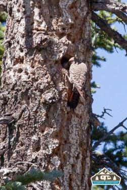 Flicker feeding the nest. Pawnee CG.