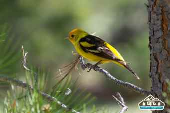 Western Tanager. Manitou Experimental Forest.