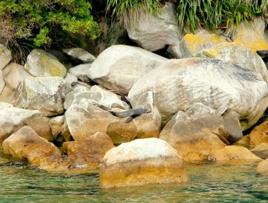 08-NZ fur seals-HoneyTrek.com
