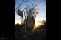 Asclepias syriaca. (Québec, Canada, octobre 2004.)