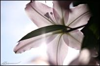 Une fleur pour ma maman. (St-Mathieu-du-Parc, Québec, mai 2009)