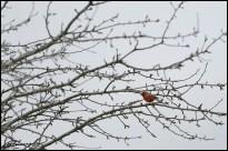 Tu sais que tu es au sud quand tu as un cardinal chez toi! (Mercier, Québec, mai 2014)