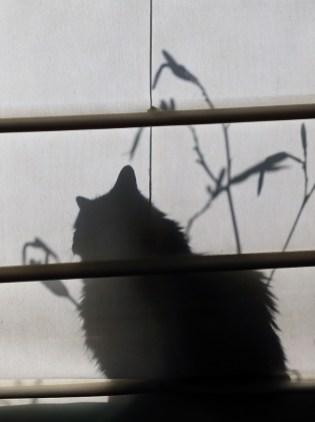 L'ombre chinoise de mon chat. Photo de l'Homme! (Mercier, Québec, juillet 2015)